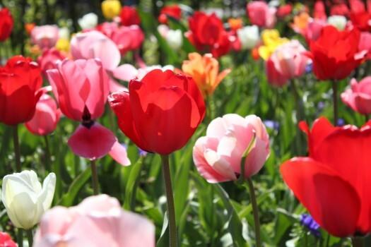 Keukenhof-tulipas