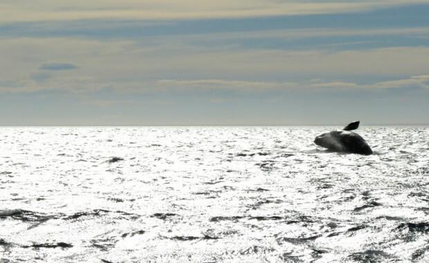 baleia-puerto-madryn-salto