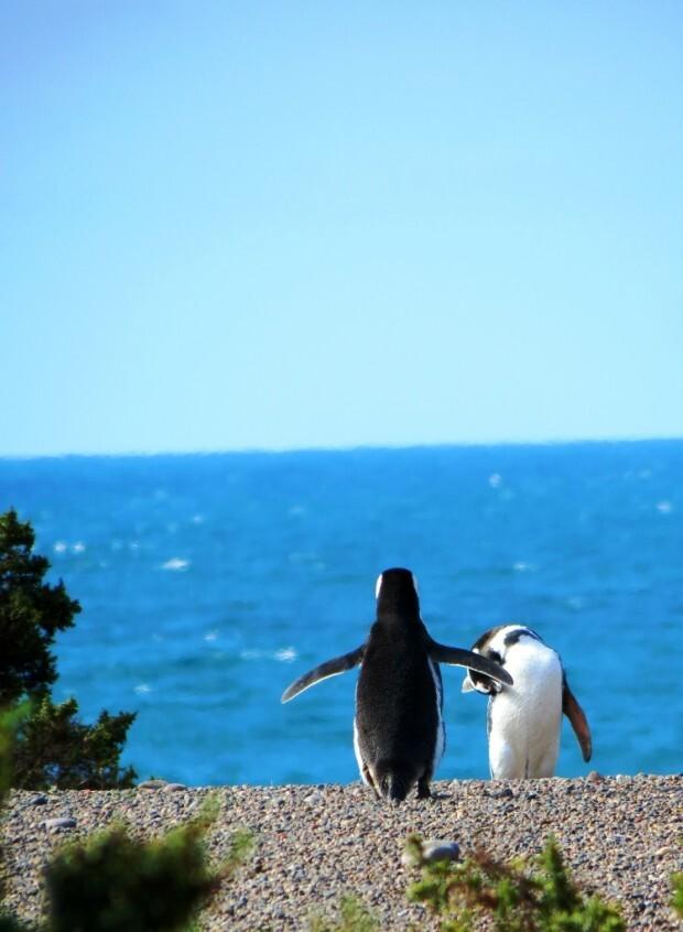 pinguins-punta-tombo-patagonia