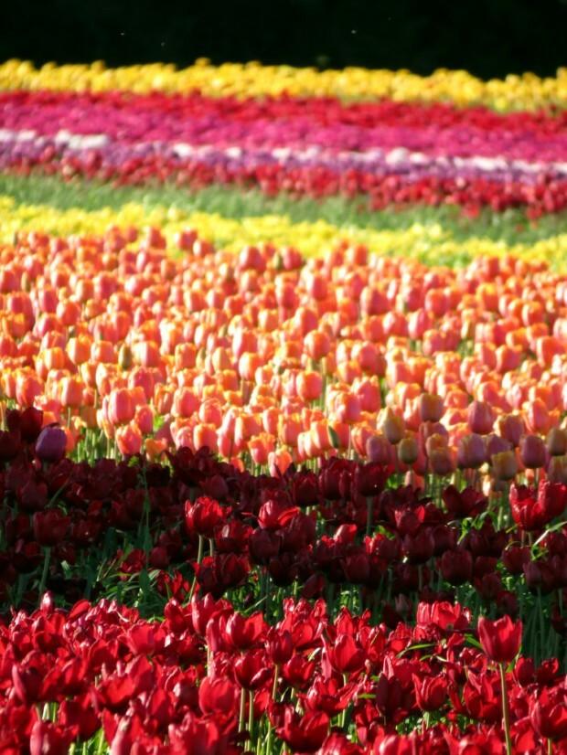 tulipas-patagonia-trevelin