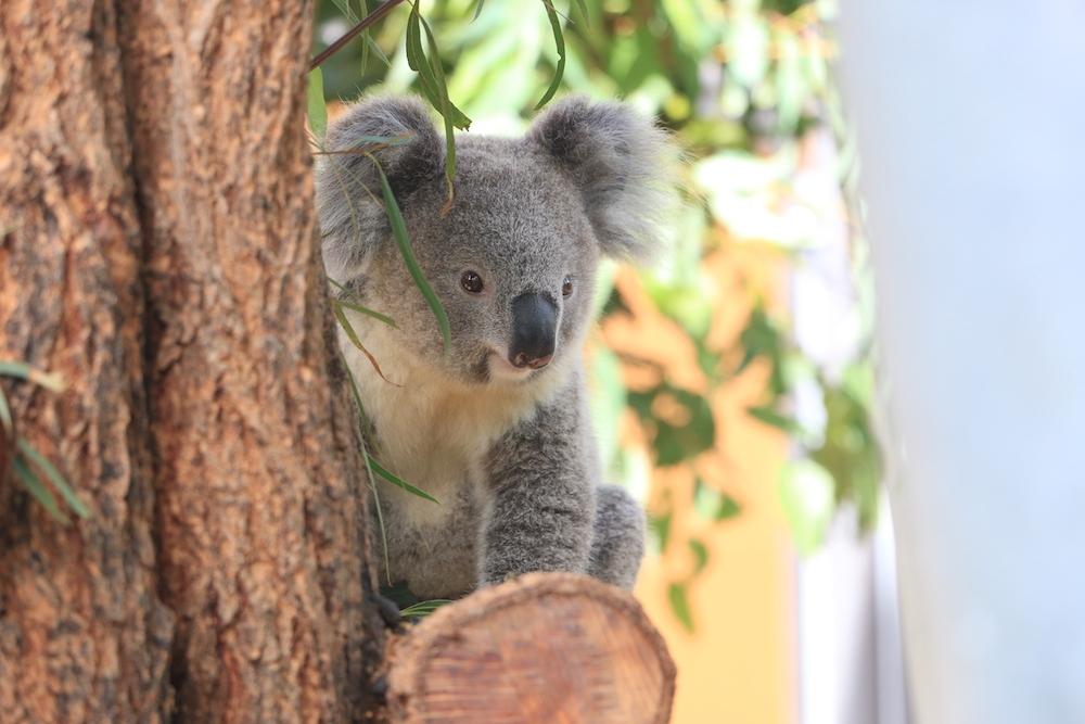 coala-sydney