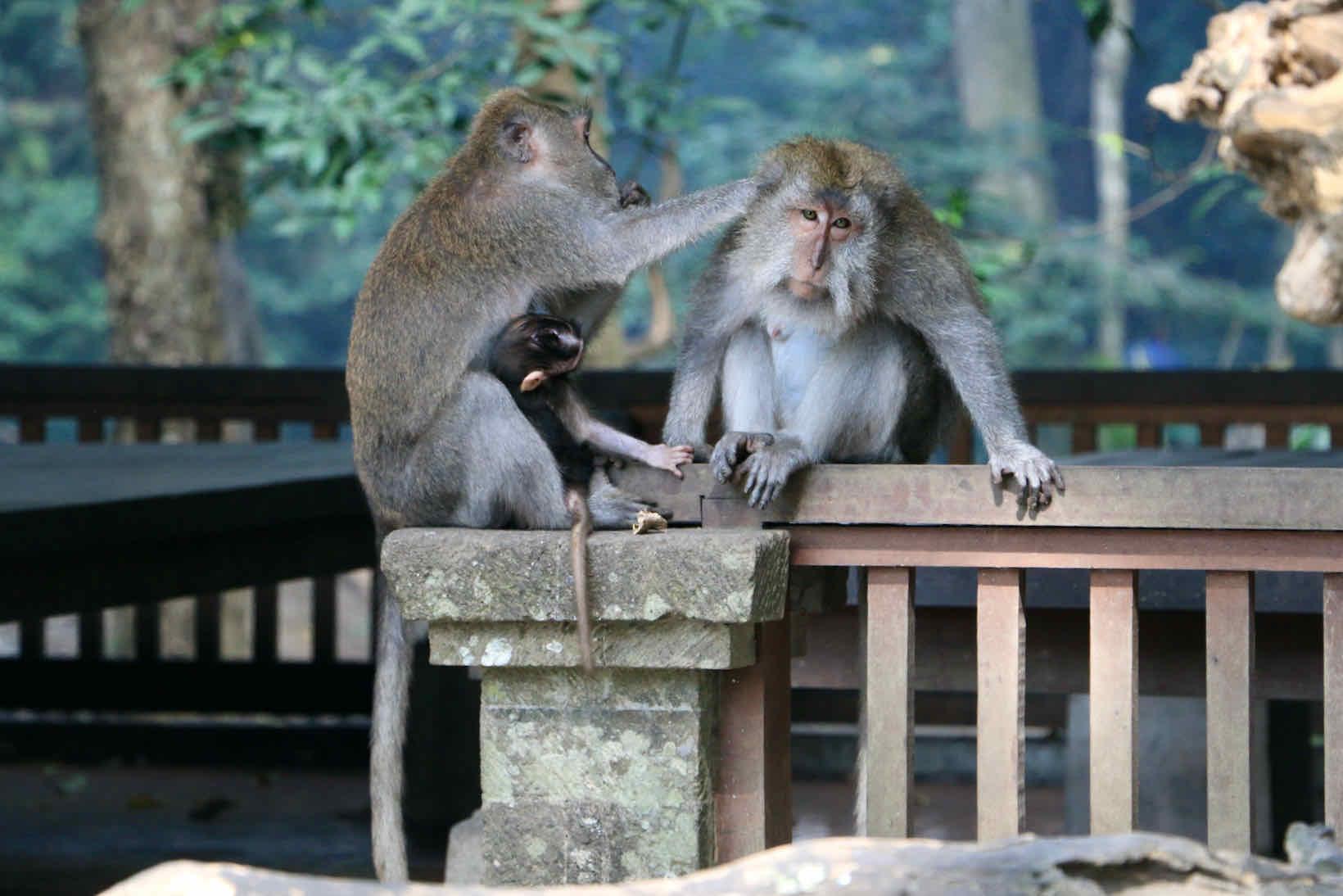 macacos em bali