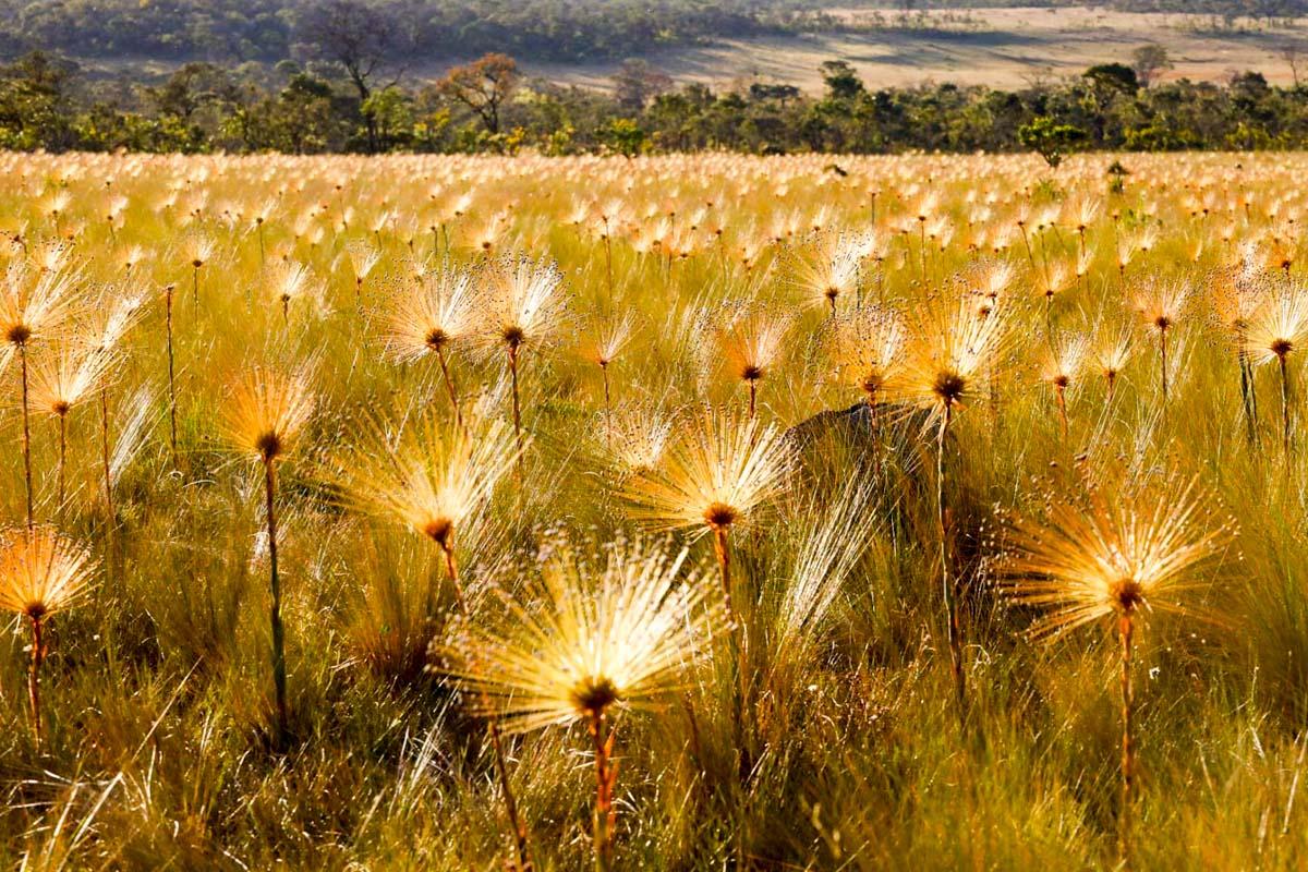 Chuveirinhos na golden hour da Chapada dos Veadeiros