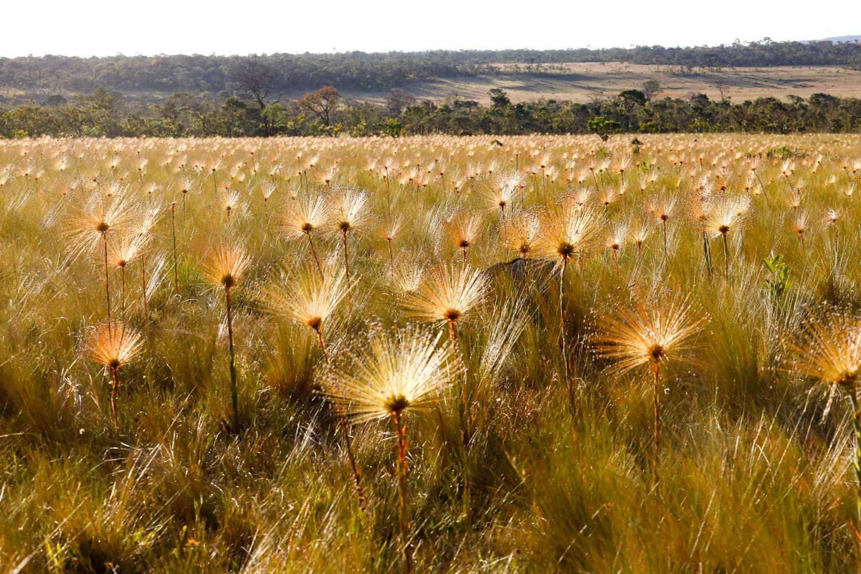 Pôr do sol com os chuveirinhos do Cerrado
