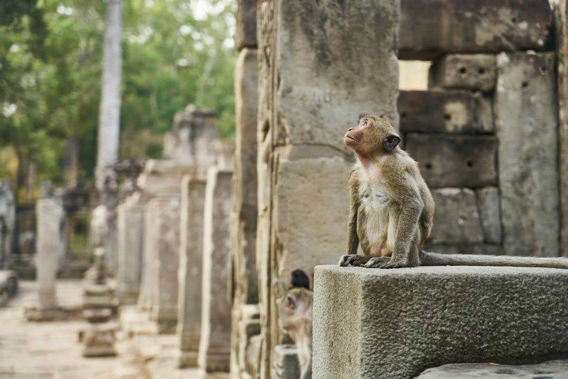 Macaco no Angkor Wat